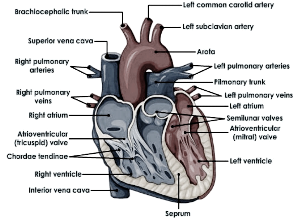 Draw a diagram of the front view of human heart and label ...