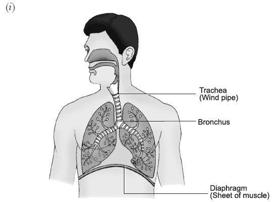 Draw a diagram of human respiratory system and label trachea ii a lungs always contain a residual volume of air so that there is sufficient time for oxygen to be absorbed and for the co2 to be released ccuart Choice Image