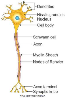 Draw a labelled diagram of a myelinated neuron sarthaks econnect diagram of a myelinated neuron ccuart Gallery
