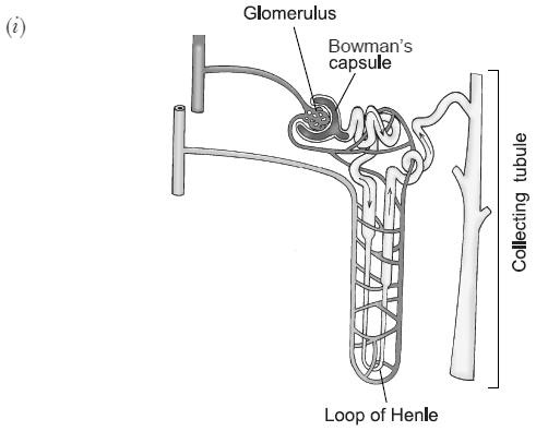 Draw A Diagram Of A Nephron And Label Bowmans Capsule Glomerulus