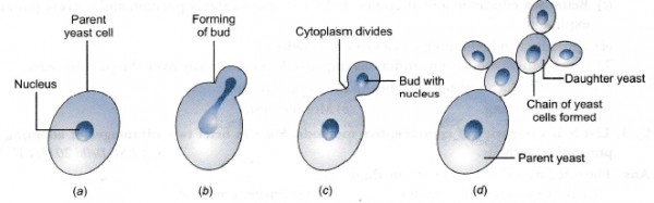 Explain Various Steps Of Budding In Yeast Sarthaks Econnect
