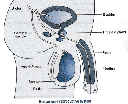 Draw a labelled diagram of a human male reproductive ...