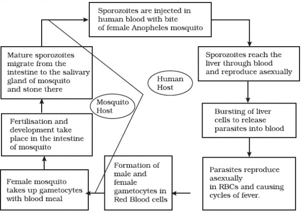 Represent schematically the life cycle of malarial parasite ... on