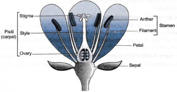 Draw A Labelled Diagram Of The Longitudinal Section Of A Flower