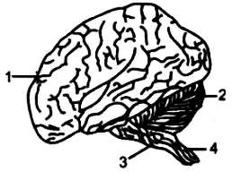 The below diagram represents the human brain as seen in an