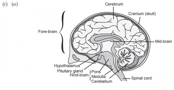 A Draw A Neat Diagram Of Human Brain And Label Medulla And