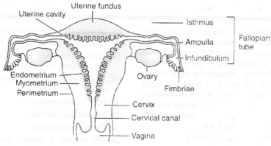 Draw a labelled diagram of the human female reproductive