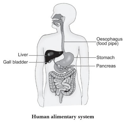 Draw A Diagram Of Human Alimentary Canal And Label On It Oesophagus